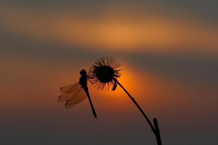 shutterstock_16776175_sunset-dragonfly