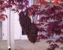Small swarm of honeybees surrounding the queen.