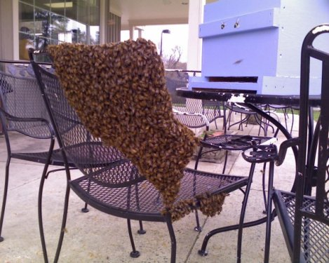Larger swarm of bees that left from the same hive earlier in the spring.