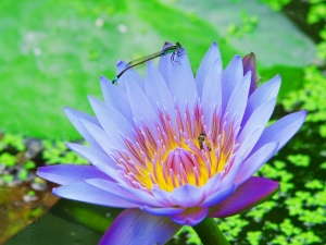 shutterstock_lily with dragonfly and bee